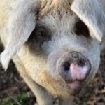 Pig production guide – Part 4: Breeding practices and boar management