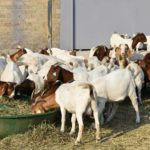 Goat production guide – part 1: The business plan
