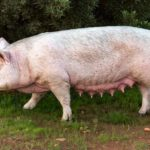 Pig production guide – Part 5: Breeding practices, sow selection and management