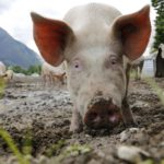 Pig production guide Part 7: Create new possibilities with waste management