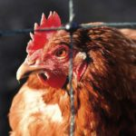 Making profit from poultry Part 7: Identify and prevent heat stress