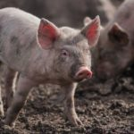 Pig production – Part 9: Feed sources for pigs