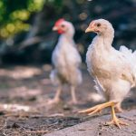 Making profit from poultry: Part 9