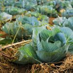 Protect your crops against cool weather vegetable pests this winter