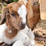 Farming with goats – Part 7: Best breeding practices to expand your flock