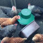 Implement biosecurity measures and stick to the rules to reduce the risk of avian influenza in your flock