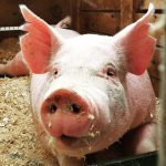 Treating African Swine Fever immediately can stop the spread of this fatal disease in its tracks