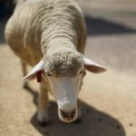 Wintering of ruminants: Feed wisely and farm efficiently