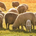 Sheep farming made easy – Part 2: Production cycles and reproduction management