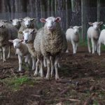 Namibia: Sheep production figures drop due to drought