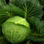 Vegetable planting guide part 2: Growing cabbage