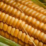 Pioneer maize seeds: fill your planter with the best thinking in modern farming