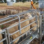 Sheep farming made easy part 8: Sheep handling equipment and restraining devices